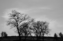 Trees Monochrome. (ALEKSANDR RYBAK) Tags: изображения монохромный деревья пейзаж небо облака весна природа сезон погода images monochrome trees landscape sky clouds spring nature season weather