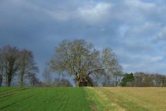 A winter walk from Faversham to Boughton-under-Blean. (favmark1) Tags: walk winter boughtonunderblean kent faversham tree field