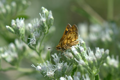 Summer snow (KsCattails) Tags: butterfly flower insect ironwoodpark kansas kscattails leawood meadow nature skipper talljoepyeweed