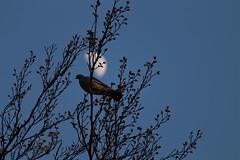 Waxing Gibbous Moon, 61% illuminated (Epiphany Appleseed) Tags: waxing gibbous moon april 2019 astro astrophysics astrophotography lunar