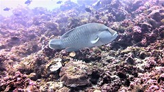 Cheilinus undulatus (kmlk2000) Tags: maldives vacation sea ocean sealife sun blue underwater fish poisson beach reef