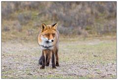 Vos (man) - Fox (male)  (Vulpes vulpes) (Martha de Jong-Lantink) Tags: 2016 awd amsterdamsewaterleidingduinen gewonevos plaatjesmakers rodevos rugzakvosjesawd vos vossen vulpesvulpes