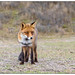 Vos (man) - Fox (male)  (Vulpes vulpes)