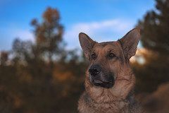 Liesl (Cruzin Canines Photography) Tags: animal animals canon canoneos5ds canon5ds canine 5ds eos5ds dog dogs domestic domesticanimal mammal pet pets gsd germanshepherd shepherd liesl portrait outdoors nature palmerpark colorado coloradosprings