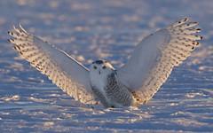 Snowy owl at sunrise (Jim Cumming) Tags: snowyowl owl sunrise winter cold wind nature wildlife canada snow filed