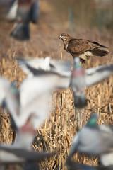 Tutti in allerta (_lucamure) Tags: bird wildlife buzzard eagle wild sony alpha a99 a9 sigma lens poiana astore uccelli foto natura caccia fotografica hunting