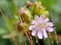 REFLEJOS (Pedro Muñoz Sánchez) Tags: flor flower reflejos gotas macro