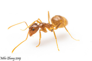 Tawny Crazy Ant Worker (Formicidae: Nylanderia fulva)