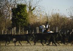 _DSC0625 (chris30300) Tags: camargue cheval