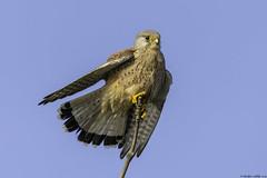 air dryer (blackfox wildlife and nature imaging) Tags: nikon d7200 sigma150600c kestrel raptor birdsofprey wirral parkgate hightide