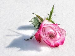 Pink on Snow (Robert Cowlishaw (Mertonian)) Tags: earlypresent 4sophia mertonian canonpowershotsx70hs canon powershot sx70hs robertcowlishaw birthdaywishes rose pink snow bypl backyardphotolab delicate deepseeksdeep awe wonder ineffable beauty beautiful shadow