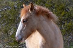 I'm calling her Cutie Pie. (kfullerwa) Tags: filly arizona saltriver tontonationalforest wildhorse