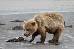 _HB31636. (Hilary Bralove) Tags: lakeclarknationalparkbrownbearsbearsalaskanikonwildlifegrizzlygrizzlybearbrownbearanimalswildlifephotographer alaksa brownbears grizzlybears bear bears grizzly brownbeargrizzly bearlake clarkwildlifealaska wildlifenikonlake clark national park