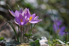 ... Zafferano odoroso (Crocus suaveolens) (Plebejus argus) Tags: crocussuaveolens iridaceae inverno montilepini lazio pentaxk20d tamron90macro