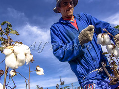 Alf 0002 - 0704 (Alf Ribeiro) Tags: agribusiness agriculture brazil brazilian cotton flower occupation rural work worker agricultural countryside crop cultivated farm farming farmland fiber field fluffy grow growing growth hand harvest harvesting industry job landscape natural nature neat new organic picking plant production profit rows scene scenery sky soft softness south southern textile white