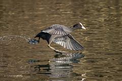 Coot in a hurry 501_7385.jpg (Mobile Lynn) Tags: waderswetlandbird birds nature coot bird fauna gruiformes wader wetland wetlandbirds wildlife hurst england unitedkingdom gb coth specanimal coth5 ngc npc