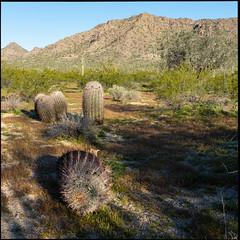 Barrel Cactus (greenschist) Tags: usa barrelcactus ironwoodtree sonorandesert cacti mountains cactus arizona saguaro pinalcounty santanmountainregionalpark