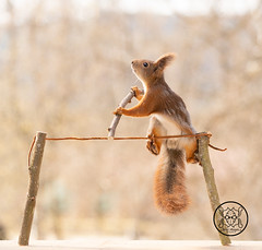 red squirrel is balancing on a rope (Geert Weggen) Tags: redsquirrel stuntingsquirrel cycle red squirrel wire act animal balance bike card care celebration circus close color concepts cute funny happy holiday rope height stick trapeze geert weggen ragunda sweden bispgården jämtland geertweggen hardeko