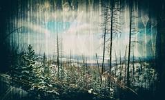 New Growth (Crusty Da Klown) Tags: newgrowth winter snow trees wilderness outdoors outside britishcolumbia bc canada canon film kodak