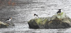 oystercatcher (BSCG (Badenoch and Strathspey Conservation Group)) Tags: bird wader river oc cnp march