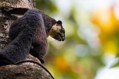 Malayan giant squirrel (Thillai Makadhan) Tags: tezpur assam india in