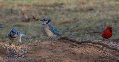 _DSC0086-2 (johnjmurphyiii) Tags: 06416 birds connecticut cromwell originalnef shelly tamron18400 usa wildlife winter yard johnjmurphyiii