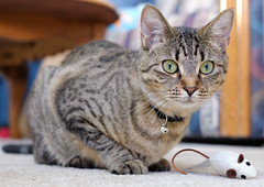 Jade and Friend (BlufoxImages (Larry)) Tags: fujifilm xh1 35mm f14 cat kitten mouse eyes pet