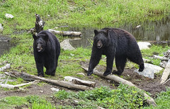Along the Creek (brucecarlson66) Tags: black bear creek logs water green brown stroll walk lumber wild wildlife life nature rock eye big feet claw dangerous powerful buddies