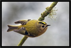 GOLDCREST (PHOTOGRAPHY STARTS WITH P.H.) Tags: goldcrest nikon d500 300mm 28 g ii wimberley flash rig sb800 for fill stover park newton abott devon lightsphere