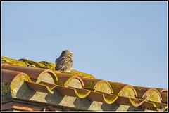 _DSC0023_Chevêche d'Athéna (patounet53) Tags: athenenoctua chevêchedathéna littleowl strigidés strigiformes bird oiseau