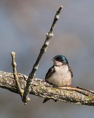 Checked (Oleg S .) Tags: swallow pennsylvania usa bird philadelphia animal