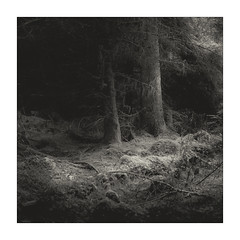 Welsh Woodland (gerainte1) Tags: hasselblad501 film blackandwhite silverefx trees woodland winter pines forest snowdonia wales provia 100