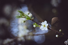 If you listen... (Aby Images (Off...)) Tags: flowers fleurs blossoms bourgeons bokeh canon eos 100d 50mm bretagne brittany finistère