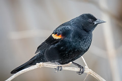 Red-winged Blackbird (tresed47) Tags: 2019 201903mar 20190308chestercountybirds birds blackbird canon7dmkii chestercounty content folder home march pennsylvania peterscamera petersphotos places season takenby us winter