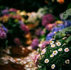 Dallmeyer 100mm f3.5 (Stanley Tung's Photography) Tags: rolleiflex sl66 dallmeyer kinoptik 150mm kodak ektar kinoptik150mm dallmeyer100mm rolleiflexsl66 movielens cinelens hongkong 2019flowershow kodakektar100 spring flower bigflower awesome 6x6 120format