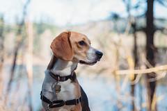 at the lake (cathy sly) Tags: march2019 deeplake baker beagle dog pet hounddog doglove spring