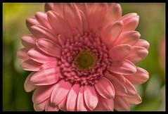 Spring Colors (Rudi Pauwels) Tags: 2019onephotoeachday pink gerbera pinkflower spring springcolors greenbokeh frame photoscape photoshop marcro closeup 90mm tamron90mmmacro
