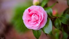 Flora - 6626 (ΨᗩSᗰIᘉᗴ HᗴᘉS +56 000 000 thx) Tags: hss sliderssunday flora flower pink fleur fuji fujifilmgfx50s rose