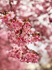 It's Almond Blossom time (ANBerlin) Tags: cherry pflanze plants flowers strasenfotografie streetphotography stadtleben stadtansichten citylife cityscape städtisch urban stadt city pink bokeh magenta ausergewöhnlich extraordinary natur nature frühling spring baum tree blüten blossoms almondblossom mandelblüten deutschland germany berlin prenzlauerberg gleimstrasse porträt portrait anb030 shotoniphone iphotography iphonography 8plus iphone8 iphone apple