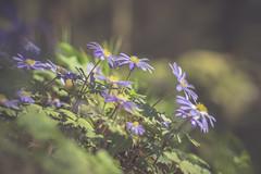 Anemones (michel1276) Tags: anemone anemonen frühling spring springflowers bokeh olympus zuiko zuikomacro9020 kingzuiko bokehlicious flora flowers blumen sony a7iii