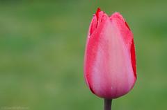 perfectly pink 27/100x 2019 (sure2talk) Tags: perfectlypink tulip nikond7000 nikkor85mmf35gafsedvrmicro macro closeup 100xthe2019edition 100x2019 image27100 27100x2019 shallowdof bokeh