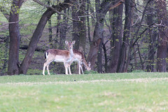 Hirsche im Gehege (Bernhard Schlor) Tags: niederösterreich country österreich europa austria natur hirsch tier mauerbach europe deer animal autriche nö loweraustria