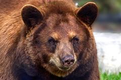 Cinnamon black bear (ucumari photography) Tags: ucumariphotography american black bear cinnamon ursusamericanuscinnamomum animal mammal miami florida fl zoo oso april 2019 dsc9968 specanimal