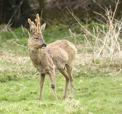 Roe Buck -Shedding his winter coat (glostopcat) Tags: roebuck roedeer deer buck glos spring animal mammal wildlife