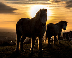 Horses at Sunset (Craig Hannah) Tags: horse horses sunset evening sky agriculture livestock scouthead saddleworth farm farmland craighannah 2019 silhouette january winter canon photography england westriding yorkshire greatermanchester oldham pennine uk