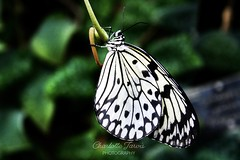 (charlottejarvis@live.co.uk) Tags: uk england insect butterfly