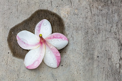 Time to kiss and make up (A Different Perspective) Tags: bali drop fallen flower frangipani path pavement pink puddle water wet white