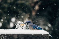 Hidden in snow (tyle_r) Tags: vscofilm bluejay january iphoto hobart birds 2019 wisconsin snow