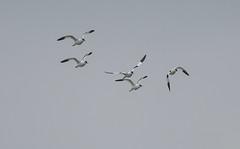 Oare 05.02.19 Avocet flock