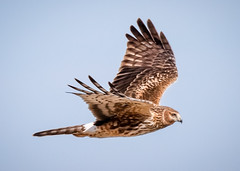 Northern Harrier (tresed47) Tags: 2019 201902feb 20190205fowlersbeachbirds birds canon7dmkii content delaware february folder fowlersbeach harrier northernharrier peterscamera petersphotos places season takenby us winter